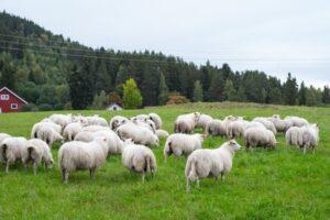 овце, Фразе на онлајн часовима српског, академска српска асоцијација